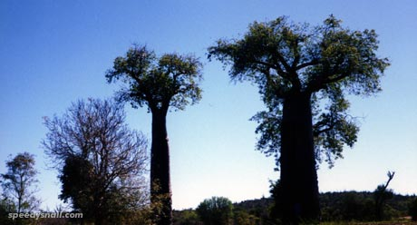 Baobab trees in Madagascar (not edible)